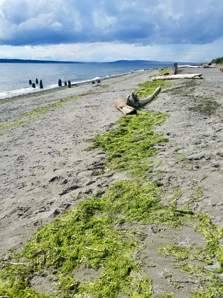 Fresh seaweed on Richmond Beach, Shoreline WA